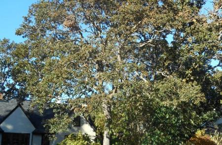 garry oak